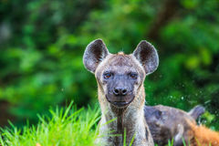 Hyena waiting for prey Royalty Free Stock Photos
