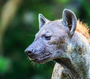 Hyena waiting for prey Stock Image