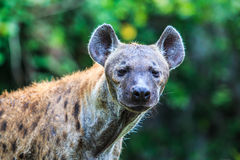 Hyena waiting for prey Royalty Free Stock Photography