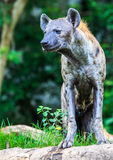 Hyena waiting for prey Stock Photography