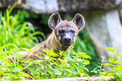 Hyena waiting for prey Stock Images