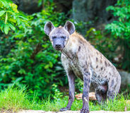 Hyena waiting for prey Royalty Free Stock Image