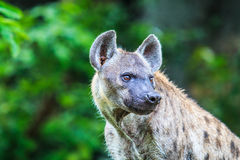 Hyena waiting for prey Royalty Free Stock Images