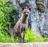Hyena waiting for prey Stock Photos