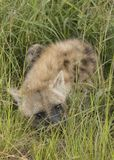 Hyena waits in the grass, South Africa Stock Photos
