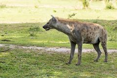 Hyena in the African savanna. Hyena walking in the African savanna, Tanzania Royalty Free Stock Photography