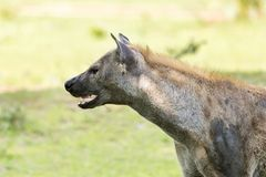 Hyena in the African savanna. Hyena walking in the African savanna, Tanzania Royalty Free Stock Photo