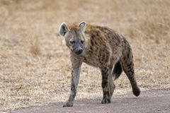Hyena walking along country road Royalty Free Stock Photography