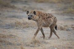 Hyena walking in the Savannah Stock Photography