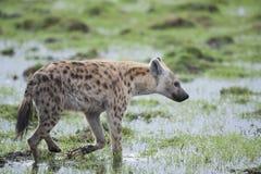Hyena walking in the Savannah Stock Photo