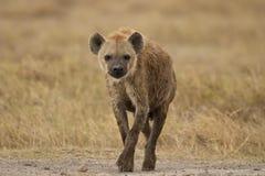 Hyena walking in the bush Stock Image