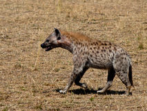 Hyena walking on the grass Royalty Free Stock Images