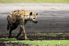 Hyena Walking on the Plains Royalty Free Stock Images