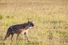 Hyena wandering the plains of Kenya Royalty Free Stock Images