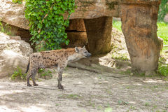 Hyena wandering in zoo Royalty Free Stock Photography