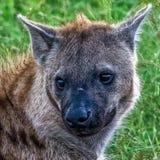 Hyena watching the sunrise Royalty Free Stock Photos