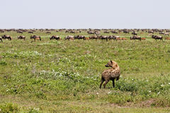 Hyena watching wildebeest. Spotted hyena watching herd of wildebeest migrating in Serengeti National Park, Tanzania Stock Images