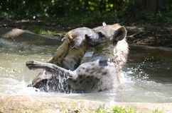 Hyena waterplay Stock Photo