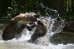 Hyena waterplay2 Arkivbild