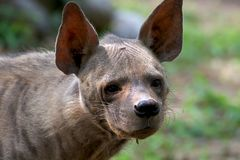 Hyena. Wild hyena looking great in wild stock images