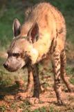 Hyena Royalty Free Stock Photo
