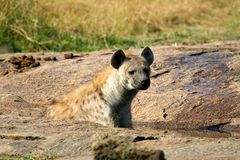 Hyena in the wild Royalty Free Stock Images