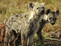 Hyena in the wild Stock Images