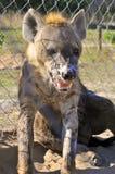 Hyena in the wild Stock Photos