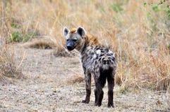 Hyena in the wild Royalty Free Stock Photos