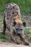 Hyena in the wild Stock Photography