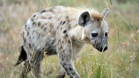 Hyena in the wild Royalty Free Stock Photography