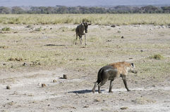 Hyena and  wildebeest Stock Photography