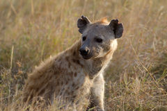 Hyena in wildlife Stock Photos