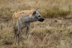 Hyena in wildlife Royalty Free Stock Image