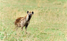 Hyena in wildlife Stock Image