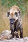 Hyena youngter Royalty Free Stock Photos