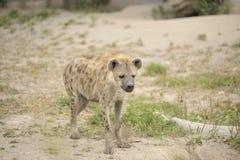 Hyena in zand stock afbeeldingen