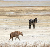 Hyena and Zebra Royalty Free Stock Image