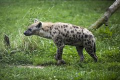 Hyena in zoo Royalty Free Stock Photo