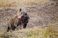 Hyena Zuid-Afrika stock foto