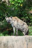 Hyenaen är stirrandet på oss Arkivfoton