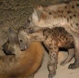 Hyenafamilie Stock Afbeeldingen