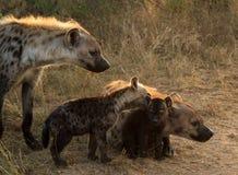 Hyenafamilj med gröngölingar Arkivbilder