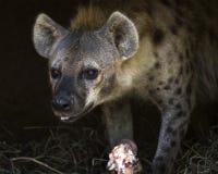 Hyenamatning Fotografering för Bildbyråer