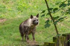 Hyenan är ett farligt, försiktigt rov- fä arkivbild