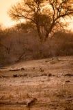 Hyenan som ligger i savannahen under solnedgång, Kruger parkerar, Sydafrika royaltyfri foto