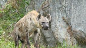 Hyenan står på en vagga i zoo arkivfilmer