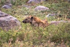 Hyenaontwaken royalty-vrije stock afbeelding