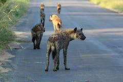 Hyenapacke på kringstrykandet i den Kruger nationalparken Arkivfoton