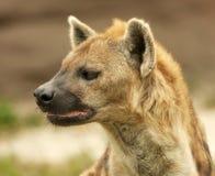 hyenaprofil Arkivfoto